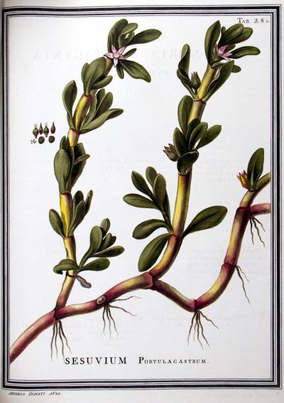 Ilustração cientifica da espécie Sesuvium portulacastrum, da publicação  Specimen Florae Americae Meridionalis.