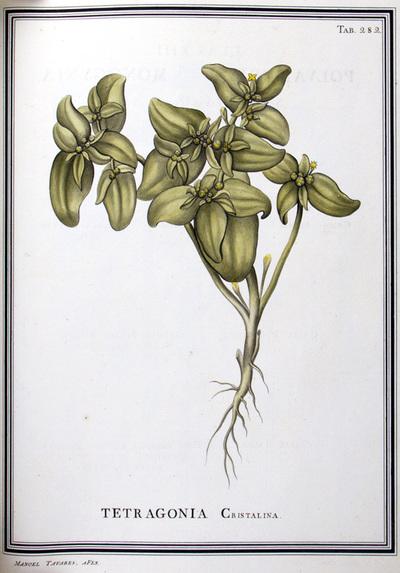 Ilustração cientifica da espécie Tetragonia cristalina, da publicação  Specimen Florae Americae Meridionalis.