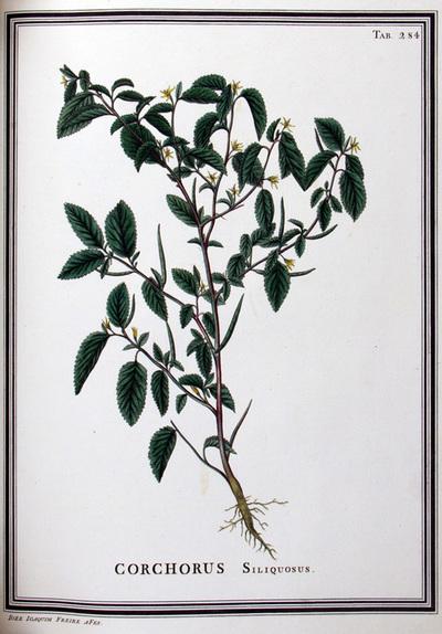 Ilustração cientifica da espécie Corchorus siliquosus, da publicação  Specimen Florae Americae Meridionalis.