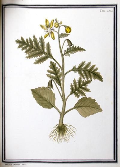 Ilustração cientifica da espécie Loosa hispida, da publicação  Specimen Florae Americae Meridionalis.