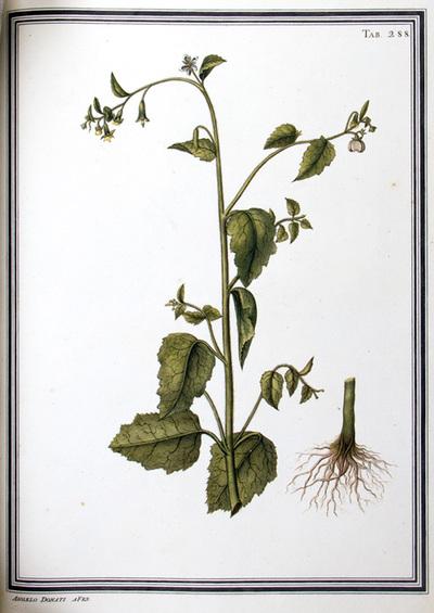 Ilustração cientifica da espécie Loosa aspera, da publicação  Specimen Florae Americae Meridionalis.