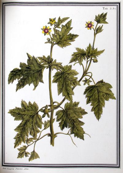 Ilustração cientifica da espécie Loosa vrens, da publicação  Specimen Florae Americae Meridionalis.