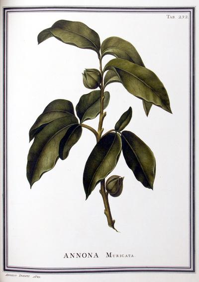 Ilustração cientifica da espécie Annona muricata, da publicação  Specimen Florae Americae Meridionalis.