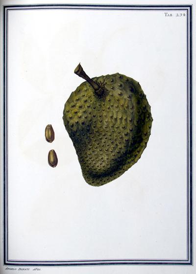 Ilustração cientifica da espécie Annona squamosa, da publicação  Specimen Florae Americae Meridionalis.