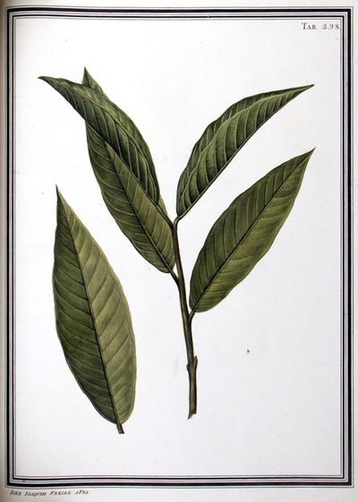 Ilustração cientifica da espécie Annona reticulata, da publicação  Specimen Florae Americae Meridionalis.