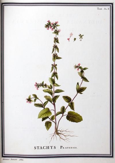 Ilustração cientifica da espécie Stachys pratensis, da publicação  Specimen Florae Americae Meridionalis.