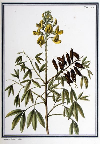 Ilustração cientifica da espécie Crotalaria labumifolia, da publicação  Specimen Florae Americae Meridionalis.