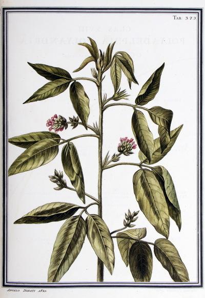 Ilustração cientifica da espécie Psoralea glandulosa, da publicação  Specimen Florae Americae Meridionalis.