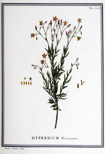 Ilustração cientifica da espécie Hypericum canariense, da publicação  Specimen Florae Americae Meridionalis.