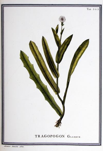 Ilustração cientifica da espécie Tragopogon glabrum, da publicação  Specimen Florae Americae Meridionalis.