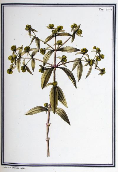 Ilustração cientifica da espécie Serratula quinque-nervia, da publicação  Specimen Florae Americae Meridionalis.