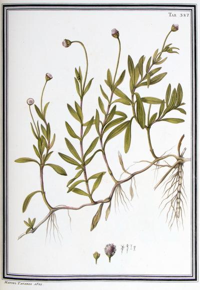 Ilustração cientifica da espécie Spilanthus vrens, da publicação  Specimen Florae Americae Meridionalis.