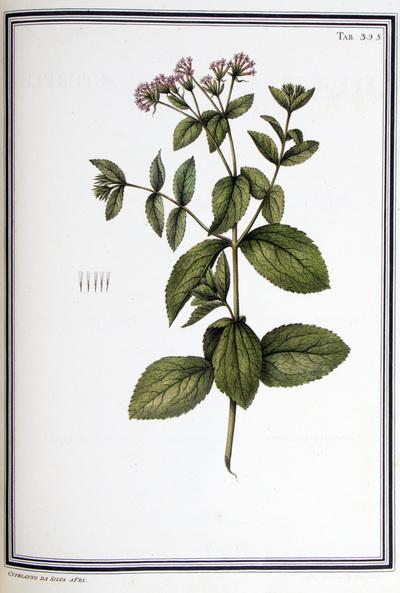 Ilustração cientifica da espécie Eupatorium scandens, da publicação  Specimen Florae Americae Meridionalis.