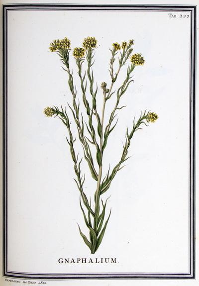 Ilustração cientifica da espécie Graphalium sp. , da publicação  Specimen Florae Americae Meridionalis.