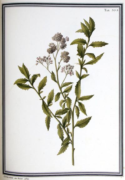 Ilustração cientifica da espécie Baccharis scandens, da publicação  Specimen Florae Americae Meridionalis.