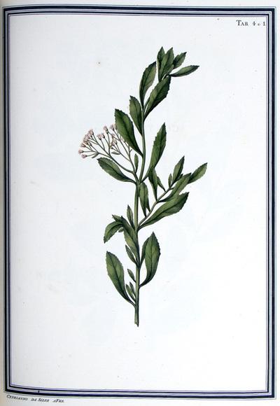Ilustração cientifica da espécie Baccharis evelofia, da publicação  Specimen Florae Americae Meridionalis.