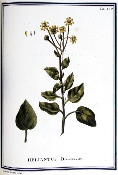 Ilustração cientifica da espécie Helianthus decapetalus, da publicação  Specimen Florae Americae Meridionalis.