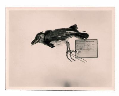 Fotografia de Barbatula bocagei [synonym Lybius torquatus bocagei (Sousa, 1886)] do Museu Nacional de História Natural e da Ciência, Lisboa, Portugal.
