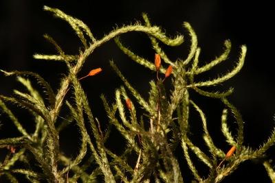 Antitrichia curtipendula  (Timm ex Hedw.) Brid.