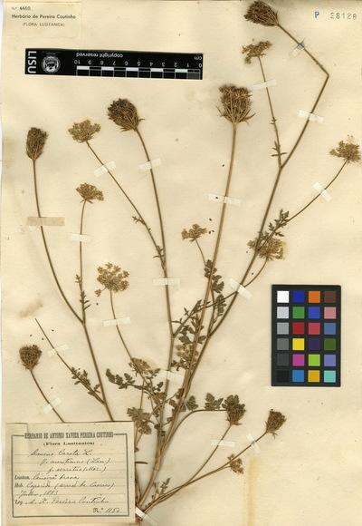 Daucus carota  L. subsp. maritimus (Lam.) Batt.