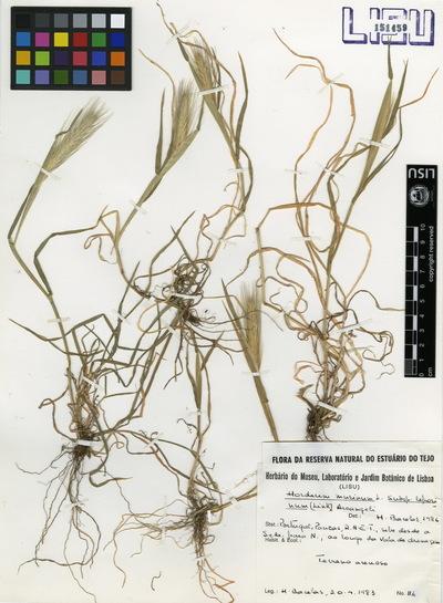 Hordeum murinum  L. susbsp. leporinum (Link)Arcang.