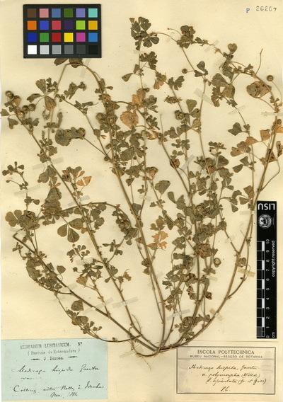 Medicago nigra  (L.)Krock. var. vulgaris (Benth.) Franco