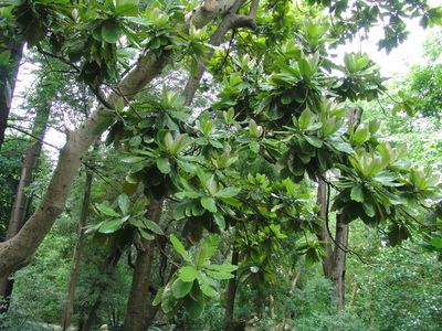 Chrysophyllum imperiale  (Linden ex K. Koch & Fintelm.) Benth. & Hook. f.