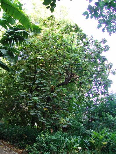 Dombeya × cayeuxii  André  [D. Mastersii Hook. F. X D. Wallichii (Lindl.) Benth.]