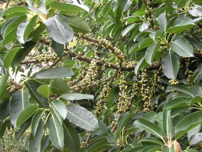 Ficus superba  var. japonica Miq.