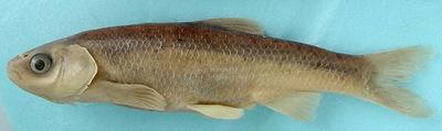 Iberochondrostoma lusitanicum  (Collares-Pereira, 1980)