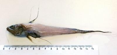 Gadomus longifilis  (Goode & Bean, 1885)