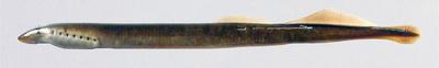 Holotipo de Lampetra alavariensis Mateus, Alves, Quintella, Almeida, 2013. Colecção de Zoologia do Museu Nacional de História Natural e da Ciência, Lisboa, Portugal.