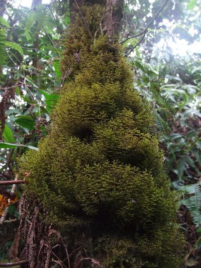 Mastigophora diclados (Brid. ex F. Weber) Nees