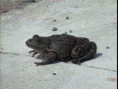 Frogsorrow