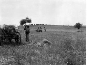 Συγκομιδή σιταριού. Χαλκιδική, γύρω στα 1935 Έλλη Παπαδημητρίου (ΦΑ_19_741)