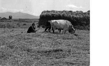 Αλώνισμα. Χαλκιδική, γύρω στα 1935 Έλλη Παπαδημητρίου (ΦΑ_19_743)