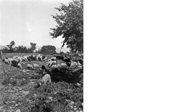 Κοπάδι πρόβατα. Μακεδονία, γύρω στα 1935 Έλλη Παπαδημητρίου (ΦΑ_19_764)