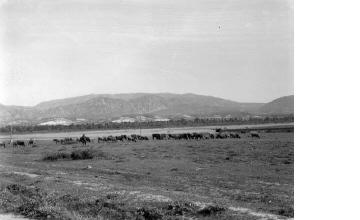 Κοπάδι άλογα. Μακεδονία, γύρω στα 1935 Έλλη Παπαδημητρίου (ΦΑ_19_765)
