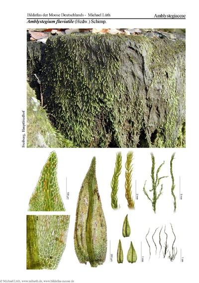 Amblystegium fluviatile