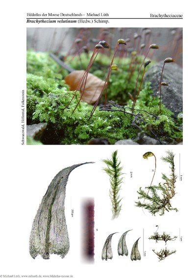 Brachythecium velutinum