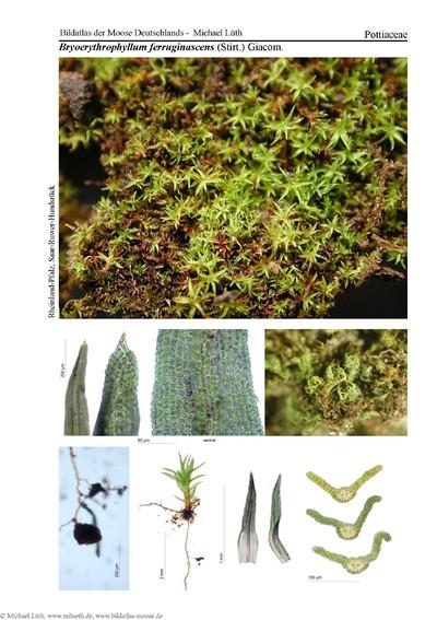 Bryoerythrophyllum ferruginascens
