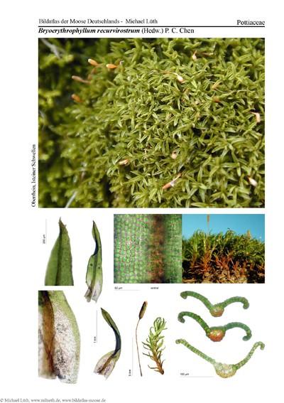 Bryoerythrophyllum recurvirostrum