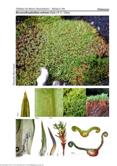 Bryoerythrophyllum rubrum