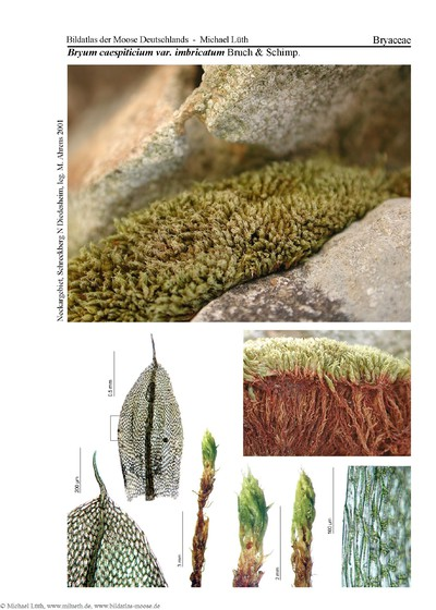 Bryum caespiticium var. imbricatum