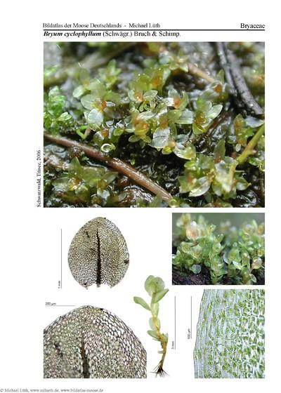 Bryum cyclophyllum