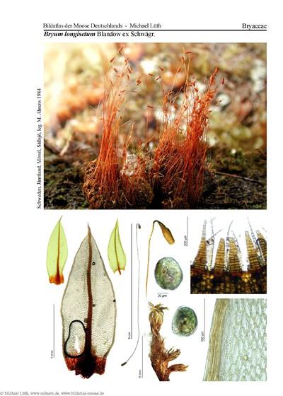 Bryum longisetum