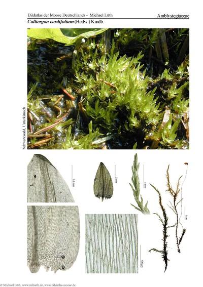 Calliergon cordifolium