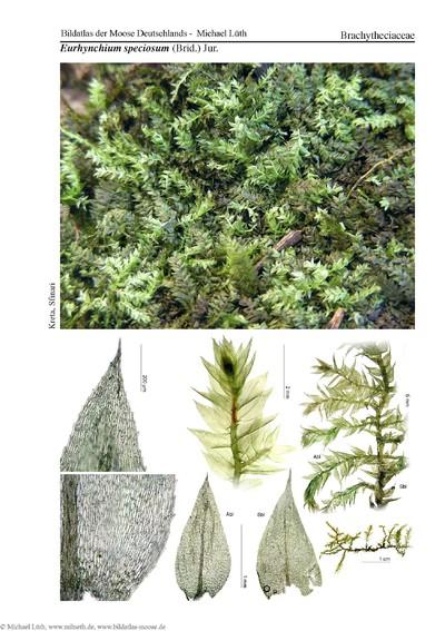 Eurhynchium speciosum