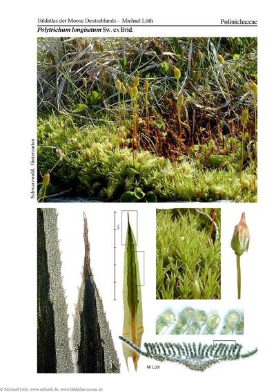 Polytrichum longisetum