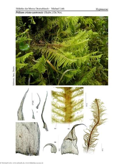 Ptilium crista-castrensis